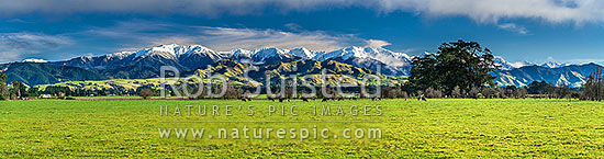 Tararua Ranges above grazing dairy cattle on lush Wairarapa farmland near Masterton. Mt Holdsworth (1470m) centre left, Three Kings centre, Mitre (1571m) at centre right. Fresh winter snowfall. Panorama, Waingawa, Carterton District, Wellington Region, New Zealand (NZ) stock photo.