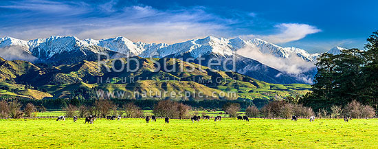 Tararua Ranges above grazing dairy cattle on lush Wairarapa farmland near Masterton. Fresh winter snowfall above. Foreground cows in focus. Panorama, Waingawa, Carterton District, Wellington Region, New Zealand (NZ) stock photo.