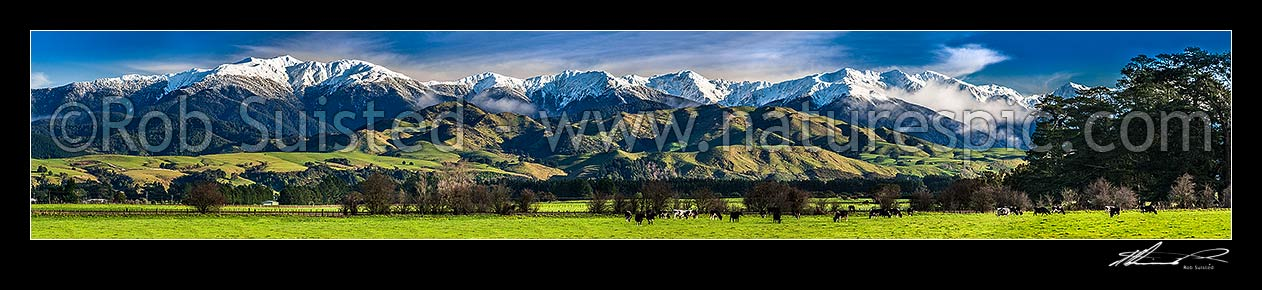 Image of Tararua Ranges above grazing dairy cattle on lush Wairarapa farmland near Masterton. Fresh winter snowfall above. Mountain in focus. Panorama, Waingawa, Carterton District, Wellington Region, New Zealand (NZ) stock photo image