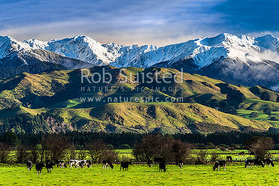 Tararua Ranges above lush Wairarapa farmland near Masterton. Broken Axe Pinnacles (centre) and McGregor (1540m left), covered in fresh winter snowfall above grazing dairy cows, Waingawa, Carterton District, Wellington Region, New Zealand (NZ) stock photo.