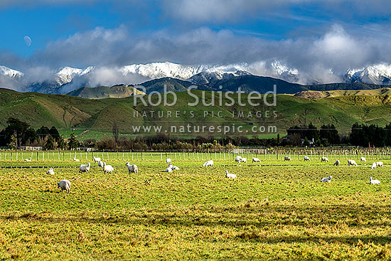 Sheep grazing below snow covered Tararua Ranges near Masterton. Fresh winter snowfall, Opaki, Masterton, Masterton District, Wellington Region, New Zealand (NZ) stock photo.