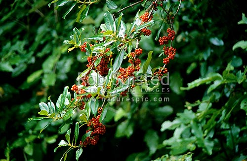 Karamu (Coprosma robusta) heavy with drupes, New Zealand (NZ) stock photo.