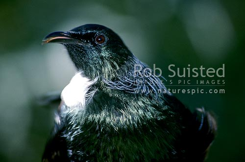 Tui (Prosthemadera novaeseelandiae), New Zealand (NZ) stock photo.