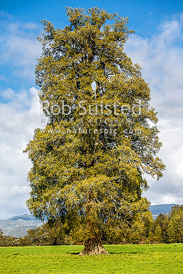 Kahikatea Tree (Dacrycarpus dacrydioides; Podocarpaceae), coniferous tree endemic to New Zealand, standing alone in rural pasture, Buller District, West Coast Region, New Zealand (NZ) stock photo.