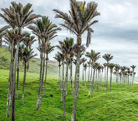 Nikau Palm trees amongst sea fog rolling in over pasture. Nikau (Rhopalostylis sapida) palm tree endemic to New Zealand. Square format, Karamea, Buller District, West Coast Region, New Zealand (NZ) stock photo.