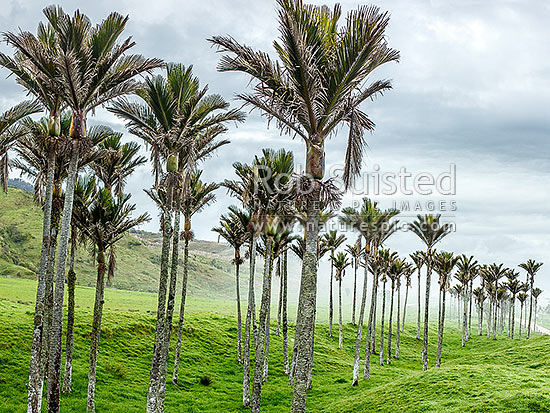 Nikau Palm trees amongst sea fog rolling in over pasture. Nikau (Rhopalostylis sapida) palm tree endemic to New Zealand, Karamea, Buller District, West Coast Region, New Zealand (NZ) stock photo.
