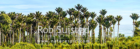 Nikau Palm trees on coast forming a thick forest. Nikau (Rhopalostylis sapida) palm tree endemic to New Zealand. Panorama, Barrytown, Grey District, West Coast Region, New Zealand (NZ) stock photo.