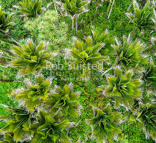 Nikau Palm tree canopy, looking down on foliage and fronds. Nikau (Rhopalostylis sapida) palm tree endemic to New Zealand. Aerial view, square format, Barrytown, Grey District, West Coast Region, New Zealand (NZ) stock photo.