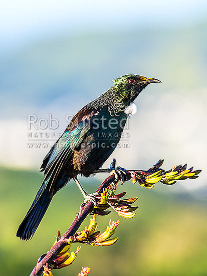 Tui Bird (Prosthemadera novaeseelandiae) perching on native flax flowers (Phormium sp.), to feed on nectar. Note yellow pollen on beak, New Zealand (NZ) stock photo.