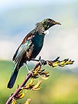 Tui bird on flax flowers