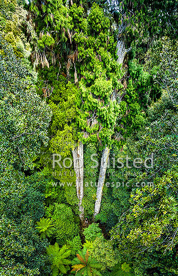 Giant Rimu trees (Dacrydium cupressinum) standing in virgin rainforest. Aerial view from canopy to ground level. Note person standing at base of trunk, Remutaka Range, Wainuiomata, Hutt City District, Wellington Region, New Zealand (NZ) stock photo.