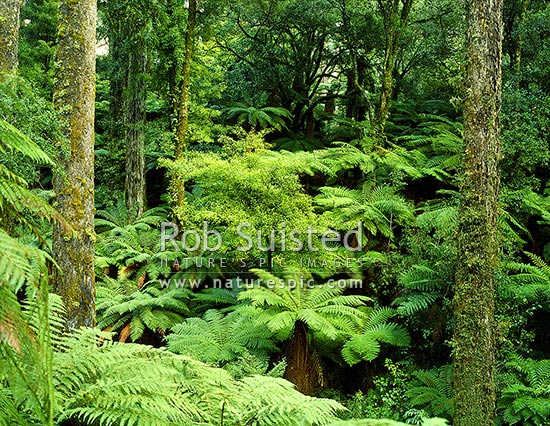 Understory of Tree ferns in the Podocarp forest of Whirinaki, Whirinaki Forest Park, Whakatane District, Bay of Plenty Region, New Zealand (NZ) stock photo.
