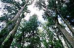 Tall podocarp forest