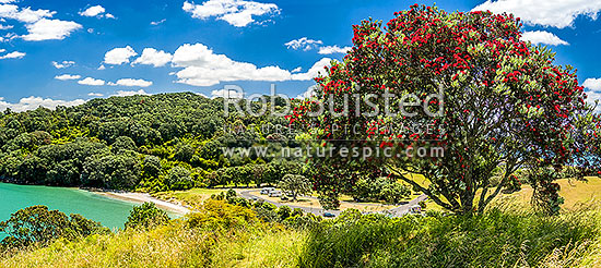 Pohutukawa tree (Metrosideros excelsa) flowering in Anzac Bay, Papatu Point. Panorama, Bowentown, Waihi Beach, Western Bay of Plenty District, Bay of Plenty Region, New Zealand (NZ) stock photo.