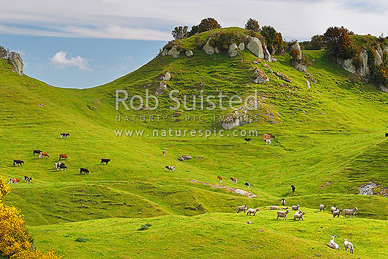 Farmland with sheep and cattle grazing amongst lush rolling hills and limestone outcrops, Pureora, Taupo District, Waikato Region, New Zealand (NZ) stock photo.