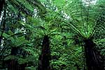 Tree fern stand in the forest