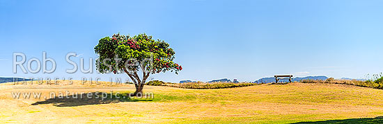 Lone Pohutukawa tree flowering (Metrosideros excelsa). New Zealand Christmas Tree, an iconic Kiwi summer symbol. Panorama, Coromandel, Thames-Coromandel District, Waikato Region, New Zealand (NZ) stock photo.