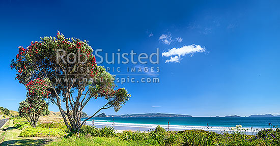 Opito Bay and Beach with flowering Pohutukawa trees (Metrosideros excelsa, pohutukawa), Opito Bay, Coromandel Peninsula, Thames-Coromandel District, Waikato Region, New Zealand (NZ) stock photo.