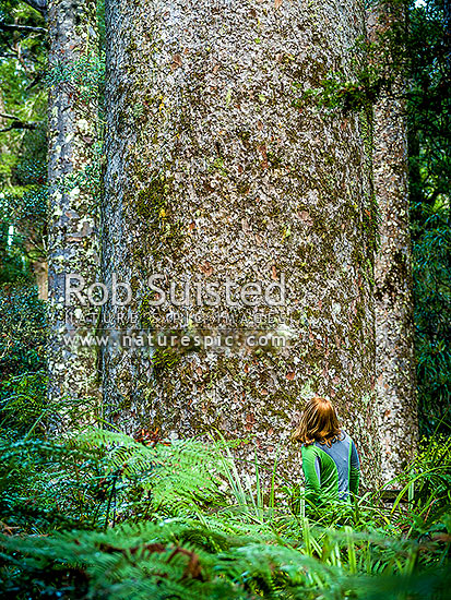 Giant Kauri tree trunk (Agathis australis) and undergrowth, Far North District, Northland Region, New Zealand (NZ) stock photo.