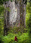 Kauri Tree, Northland
