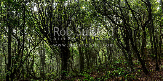 Misty rainforest of Tawa (Beilschmiedia tawa) and Kohekohe ((Dysoxylum spectabile) trees. Native broadleaf forest with ferny understorey. Moody panorama, Wellington City District, Wellington Region, New Zealand (NZ) stock photo.