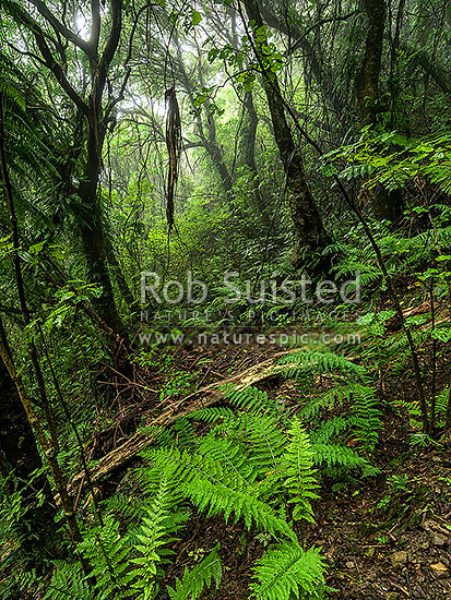 Misty rainforest of Kohekohe ((Dysoxylum spectabile) trees. Moody native broadleaf forest with lush understorey, Wellington City District, Wellington Region, New Zealand (NZ) stock photo.