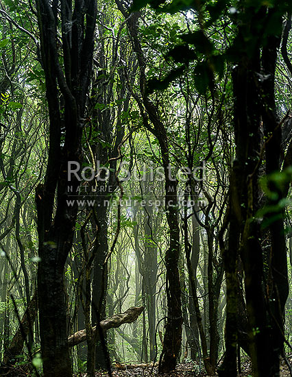Misty native NZ bush or rainforest, mostly Tawa (Beilschmiedia tawa) and Kohekohe ((Dysoxylum spectabile) trees, in a moisture rich cloud forest on an foggy day, Wellington City District, Wellington Region, New Zealand (NZ) stock photo.