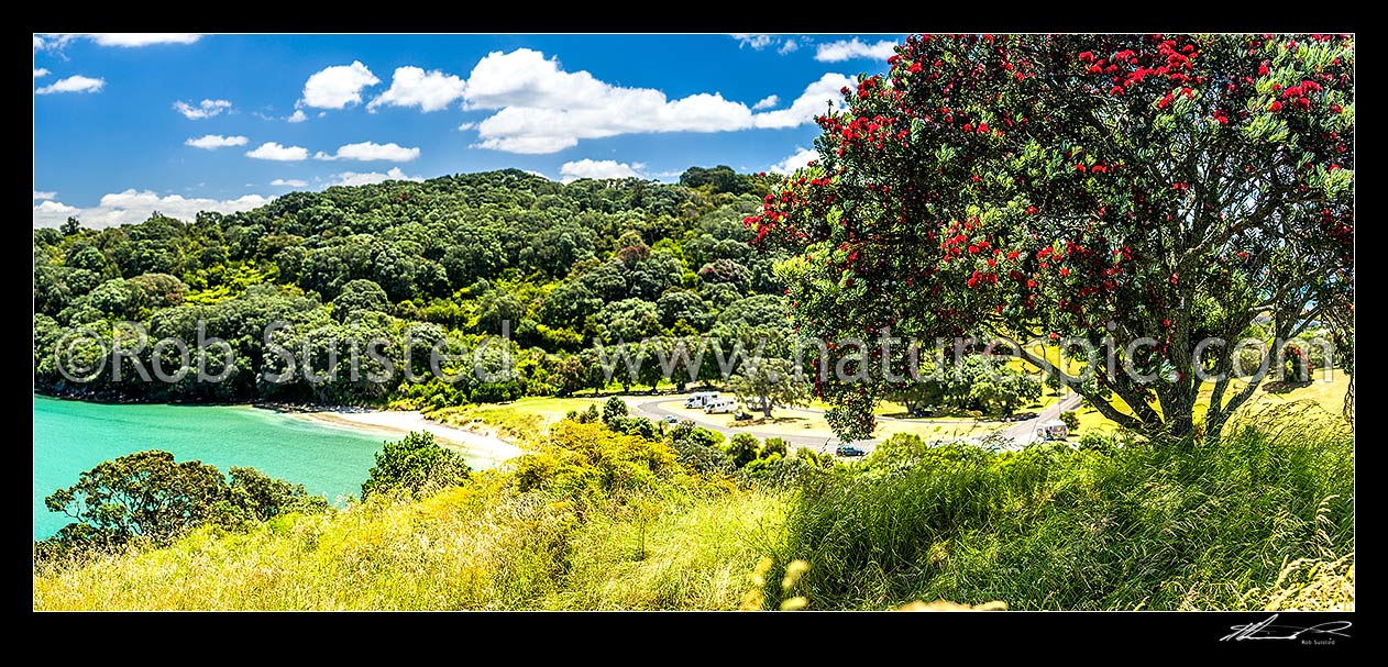 Image of Pohutukawa tree (Metrosideros excelsa) flowering in Anzac Bay, Papatu Point, with tourist campervans in background. Summer panorama, Bowentown, Waihi Beach, Western Bay of Plenty District, Bay of Plenty Region, New Zealand (NZ) stock photo image