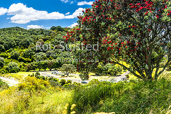 Pohutukawa tree (Metrosideros excelsa) flowering in Anzac Bay, Papatu Point, with tourist campervans in background. Summer, Bowentown, Waihi Beach, Western Bay of Plenty District, Bay of Plenty Region, New Zealand (NZ) stock photo.
