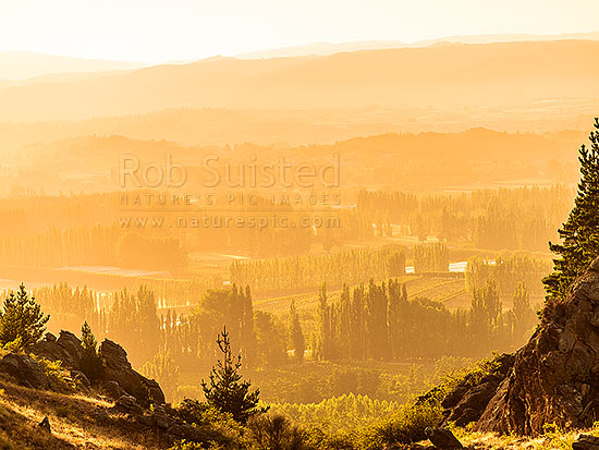 Stonefruit orchards in Central Otago on a sunny golden dawn in later summer at Blackmans, Earnscleugh, Alexandra, Central Otago District, Otago Region, New Zealand (NZ) stock photo.