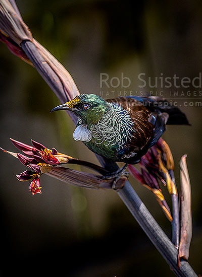 Tui bird (Prosthemadera novaeseelandiae) visiting and pollinating native flax flowers (Phormium tenax), yellow pollen visible on head, New Zealand (NZ) stock photo.