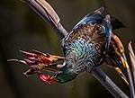 Tui bird plumage, feeding on flax