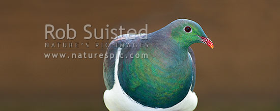 Wood Pigeon (Hemiphaga novaeseelandiae); Kereru. Panorama, New Zealand (NZ) stock photo.
