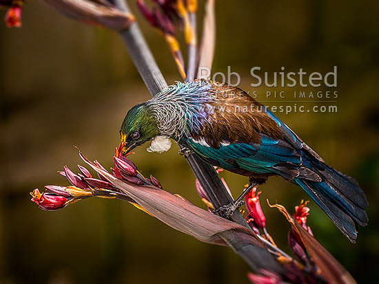 Tui bird (Prosthemadera novaeseelandiae) feeding on and pollinating native flax flowers (Phormium tenax), yellow pollen visible on head, New Zealand (NZ) stock photo.