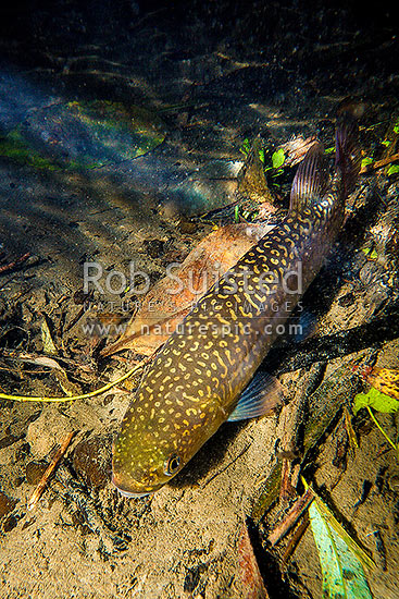 Giant Kokopu (Galaxias argenteus) well hidden under river bank. Giant Kokopu are the largest of the endemic galaxiid species. Photographed in the wild, Kapiti Coast District, Wellington Region, New Zealand (NZ) stock photo.