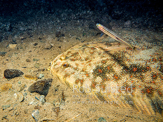 Black Flounder (Rhombosolea retiaria) lies in wait to capture prey such as Inanga (Galaxias maculatus) in a coastal freshwater forest stream. Photographed in the wild, Kapiti Coast District, Wellington Region, New Zealand (NZ) stock photo.