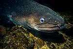 Longfin eel, NZ endemic species
