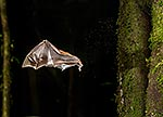 NZ Short-tailed bat flying