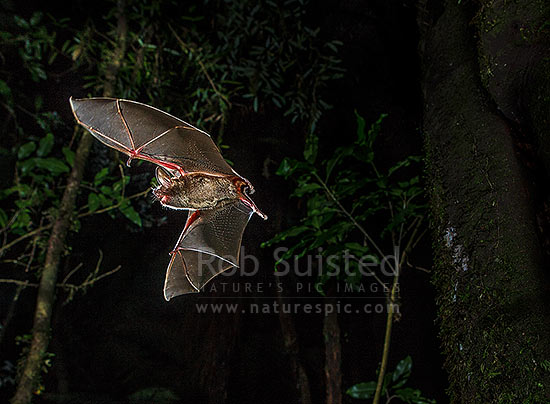 Short-tailed bat (Mystacina tuberculata) flying at night, with mouth open indicating it's using echolocation to navigate (lesser short-tailed bat - pekapeka-tou-poto), Pureora Forest, Waitomo District, Waikato Region, New Zealand (NZ) stock photo.