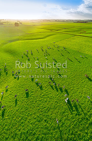 Dairy farmland in early morning autumn light. Dairy cows and herd grazing on lush pasture, Sanson, Manawatu District, Manawatu-Wanganui Region, New Zealand (NZ) stock photo.