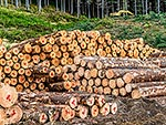 Pine timber logs for export