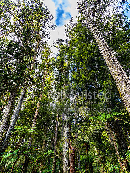 Podocarp trees and tree fern understory standing tall in Whirinaki forest. Mostly Rimu trees (Dacrydium cupressinum) in this view, Minginui, Whakatane District, Bay of Plenty Region, New Zealand (NZ) stock photo.