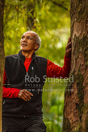 Kevin Prime (noted maori and environmental leader) portrait amongst Kauri forest (Agathis australis), Waipoua Forest, Far North District, Northland Region, New Zealand (NZ) stock photo.