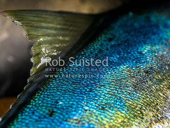 Kingfish (Seriola lalandi) skin, dorsal fin and scale patterns and textures of blue, green, yellow and white. Also known as southern yellowtail amberjack, yellowtail kingfish or great amberjack, New Zealand (NZ) stock photo.