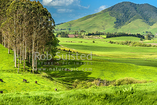 Lush dairy farmland in the Waikato. Mt Kakepuku (449m) behind, Otorohanga, Otorohanga District, Waikato Region, New Zealand (NZ) stock photo.