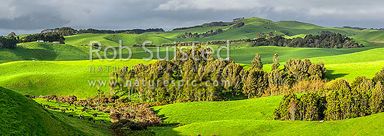 Dairy farming on lush rolling hills amongst native forest and wetland remnants. Dairy cow herd at left. Wide panorama, Raglan, Waikato District, Waikato Region, New Zealand (NZ) stock photo.