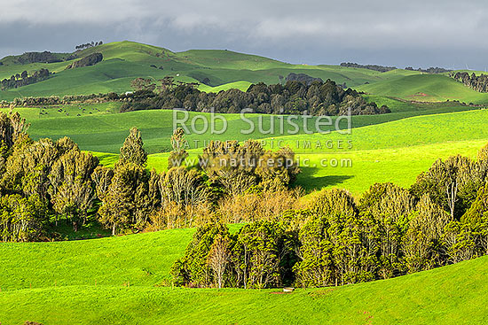 Lush farmland on lush rolling hills amongst native forest remnants. Lush spring with dairy herd grazing in distance, Raglan, Waikato District, Waikato Region, New Zealand (NZ) stock photo.