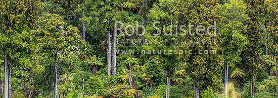 Native forest, mature podocarp forest, Rimu (Dacrydium cupressinum) and Matai (Prumnopitys taxifolia, matai) trees and tree ferns. Panorama, Ohakune, Ruapehu District, Manawatu-Wanganui Region, New Zealand (NZ) stock photo.