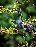 Tui bird on flax