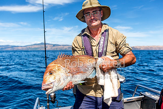 Snapper fishing. Very large 9kg (20lb) mature snapper (Pagrus auratus, Tamure) and recreational fisherman holding carefully before release back into sea, Porirua City District, Wellington Region, New Zealand (NZ) stock photo.